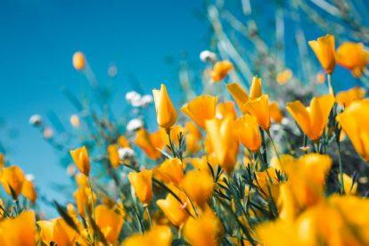 field-of-yellow-flowers