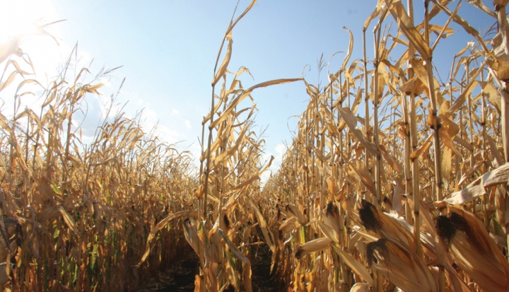 CornField_Flickr_AlternateHeat