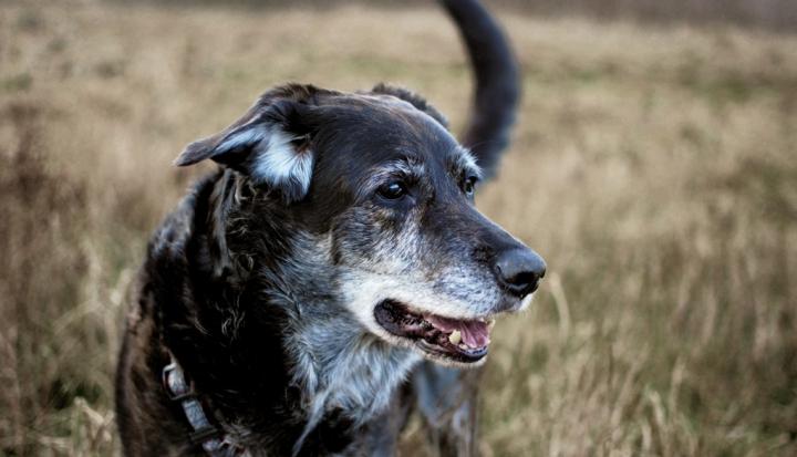 elderly-dog