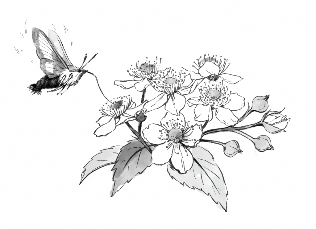moth-drinking-nectar-from-flowers
