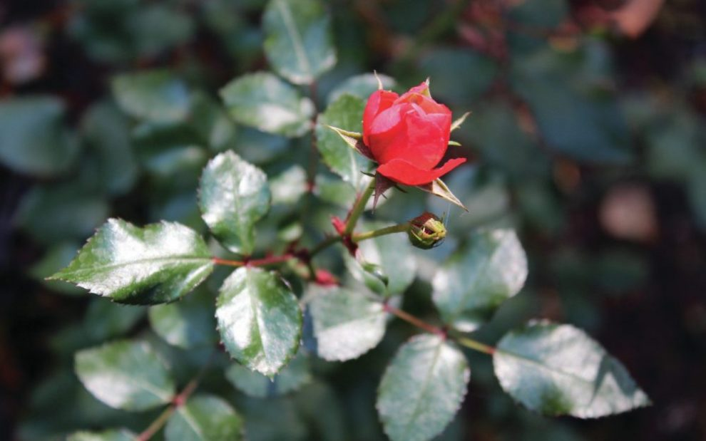 red-rose-on-a-bush