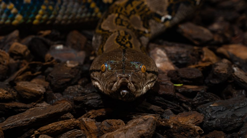 brown-snake-staring-forwards